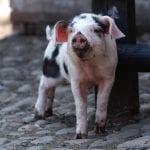 Baby pig Tatton Park